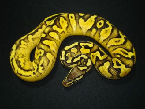 ball python heat l off at night view topic 1022 gold chagne tobiano chicken smoothie