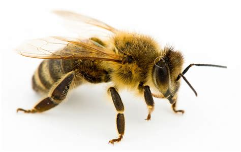 Bee History And Some Interesting Facts