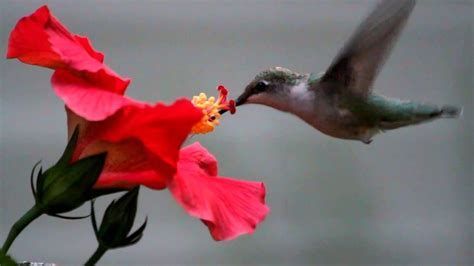 hummingbird eating   flower youtube