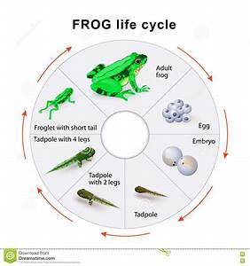Frog Life Cycle  Amphibian Metamorphosis  Stock Vector