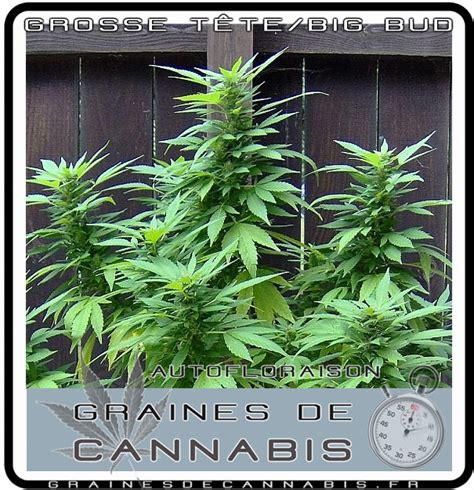 plantation cannabis interieur simple comment cultiver du cannabis guide de cannabis