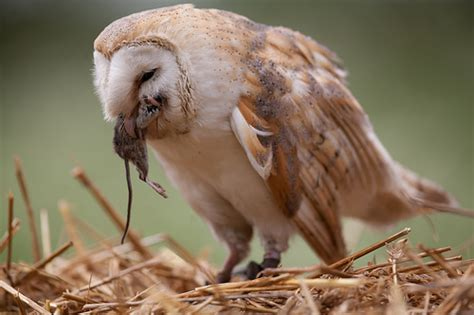 What Do Barn Owls Eat by What Owls Eat Owls