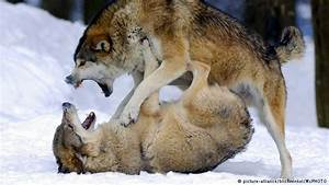 Germans divided over return of the wolves | Environment ...