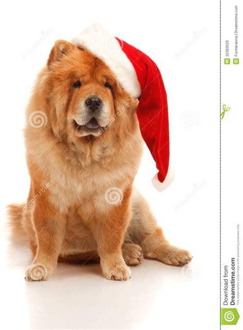 christmas dog stock image image  domestic adult pets