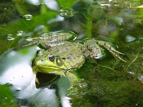 une grenouille dans l etang du jardin