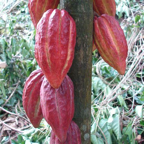 chocolate plants polynesian produce stand