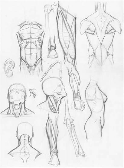 Anatomy Sketches Random Models Humans Eternal Stomach