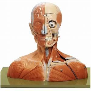 Somso U00ae Human Head And Neck Model
