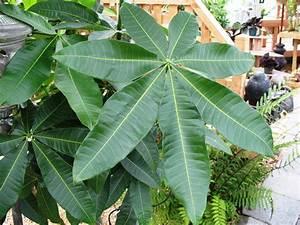 Online Plant Guide - Pachira aquatica / Guiana Chestnut