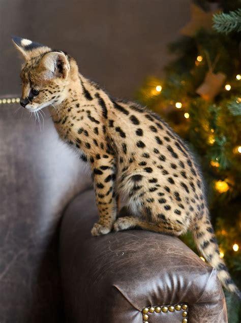 Die Besten 25+ Serval Cat Price Ideen Auf Pinterest