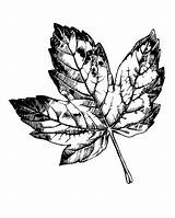 Leaf Maple Coloring Printable Printables Christmas Leaves Colouring Fall Templates Patterns Pages Template Stencil sketch template