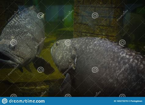 grouper fish giant epinephelus lanceolatus serranidae underwater aquarium swimming tank