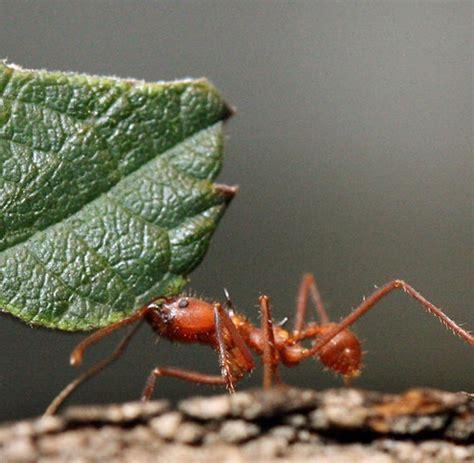 ameisen an pflanzen ameisen an pflanzen rote ameisen im garten pflanzen innenr ume und m bel ideen pflanzen d ngen