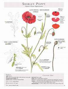 1555 Best Poppies Images On Pinterest