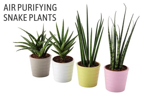 Snake Plant Benefits Sansevieria Trifasciata Growing How To Care For Snake