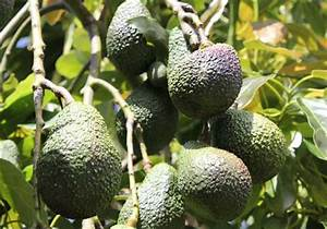 What Makes You A Good Candidate For This Position Avocado Pod Easy Edible Gardening