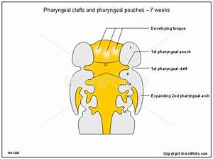 Pharyngeal Clefts And Pharyngeal Pouches