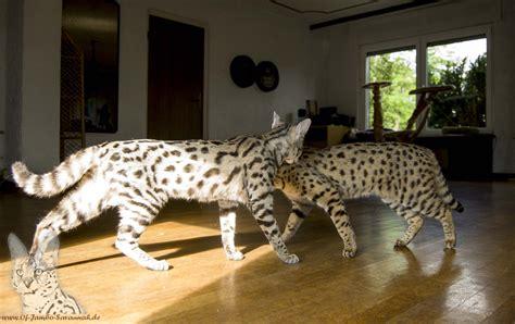 fragen zu savannah katzen savannah cats savannahzucht