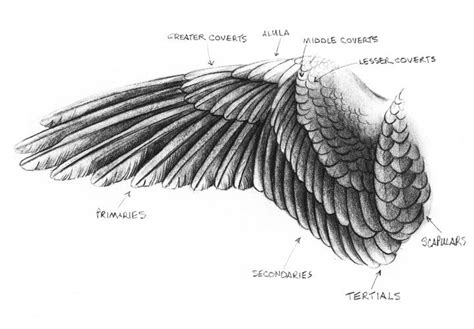 eagle wings wing drawing  sandy scott showing  main