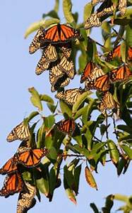 Monarch butterflies migration  Funny Animal