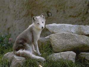 Bébé Loup Blanc : baby wolf wallpapers wallpaper cave ~ Farleysfitness.com Idées de Décoration