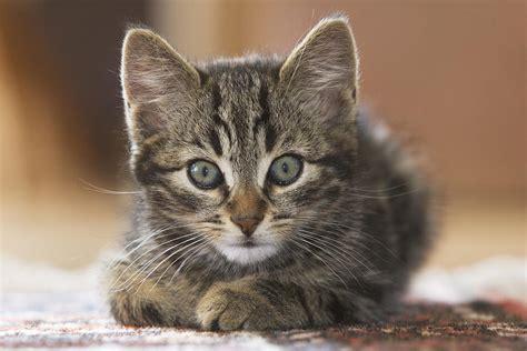 domestic cat felis catus kitten photograph by konrad wothe