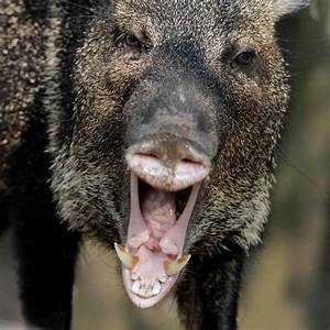 497 best images about Animals- Pigs, warthogs, red river ...
