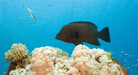 grouper dangerous delicious week fish its