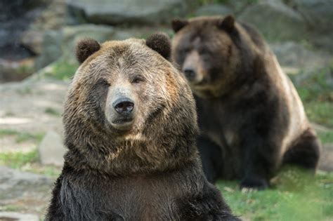 zoo central park bears grizzly bronx exhibit grizzlies york veronica betty open fill welcome week last prepares yourself test conservation