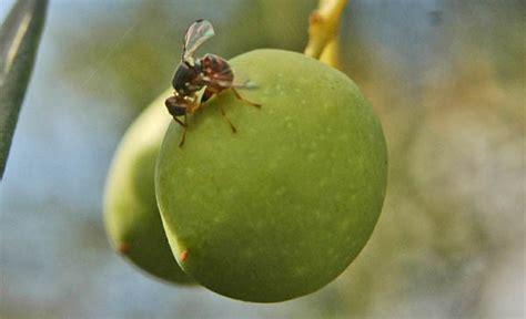 http://www.agraria.org/entomologia-agraria/mosca-dell-olivo.htm