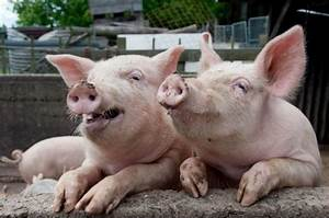 Did you know pigs have full set of 44 teeth? Chatham