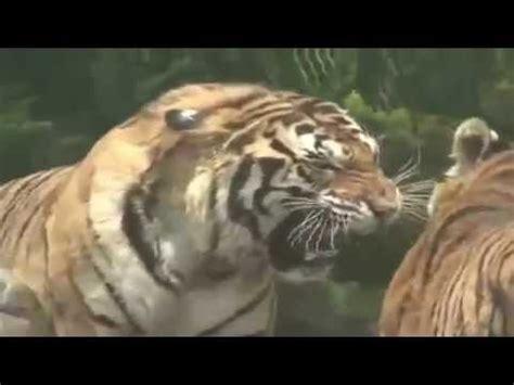 tigre  leon quien gana youtube