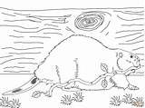 Beaver Coloring Pages North American Branch Drawing Printable sketch template