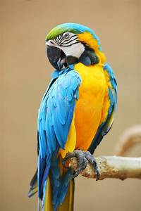 Parrot - Blue Yellow Macaw stock image. Image of avian ...