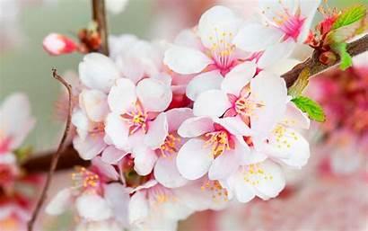 Blossom Cherry Wallpapers Blossoms Wonderful Sakura Pink