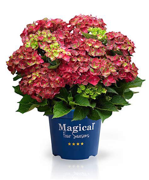 acquista ortensia magical 174 ruby tuesday bakker
