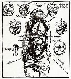Internal Anatomy  16th Century Diagram