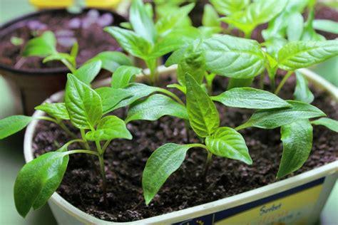 comment cuisiner le poivron comment semer des piments et des poivrons quand et