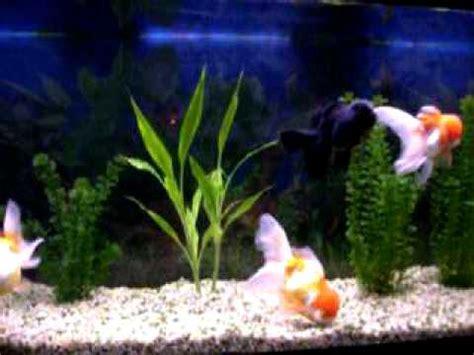 acuario de goldfish orandas youtube