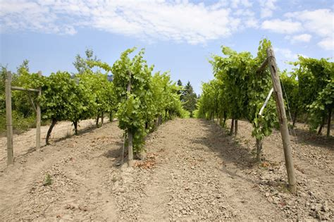 Grape Trellis by Miraculously Easy Tips On How To Build An Ethereal Grape