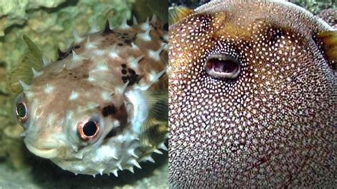 What's The Difference Between Porcupinefish And Pufferfish