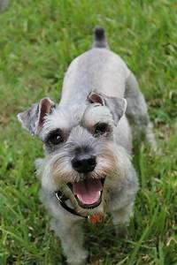 Best dog crate for schnauzers miniature schnauzers puppies for Best dog crates for puppies