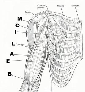 32 Best Images About Muscular System On Pinterest