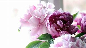 Peonies Wallpaper Desktop