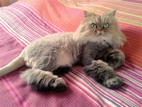 lion cut  mad cat lady