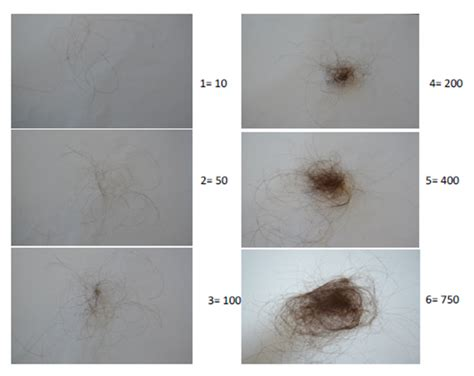 Do Aussiedoodles Shed Hair by Hair Shedding In How Much Is Much Atlas Of