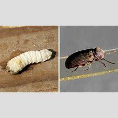 Holzwurm Und Hausbockkäfer Bekämpfen Die Besten Tipps