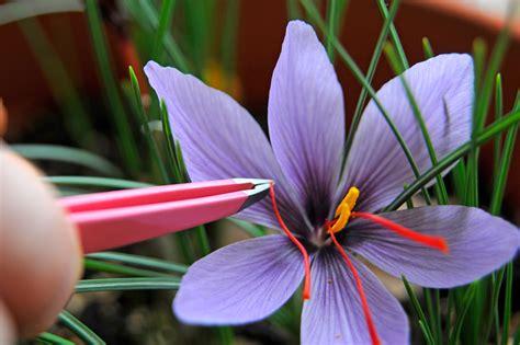 how to grow saffron gardenersworld