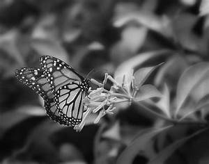 Monarch Butterfly In Black And White Photograph by Joseph ...