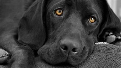 Dog Labrador Dogs